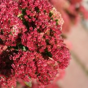 Sedum telephium 'Munstead Dark Red' (Vetkruid, Hemelsleutel)