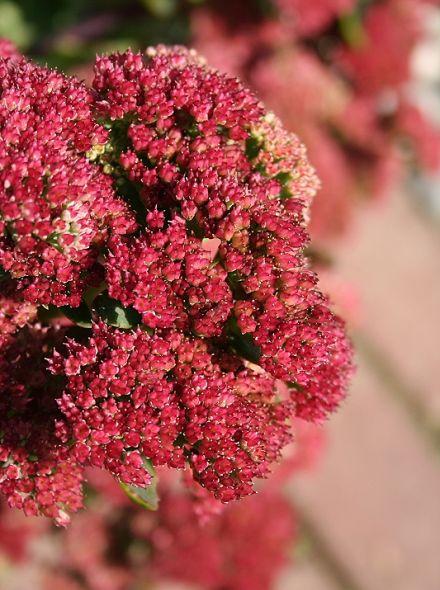 Sedum telephium 'Munstead Dark Red' (Vetkruid, Hemelsleutel)