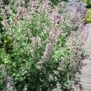 Nepeta grandiflora 'Dawn to Dusk' - Kattekruid