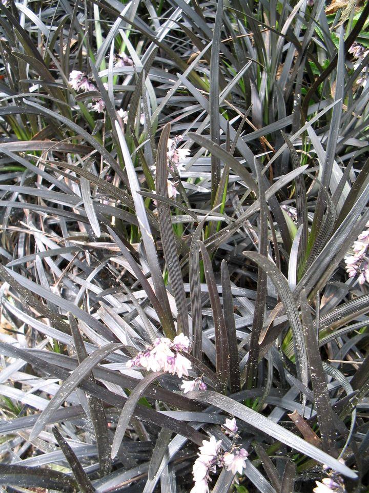 Ophiopogon planiscapus 'Niger' - Slangebaard