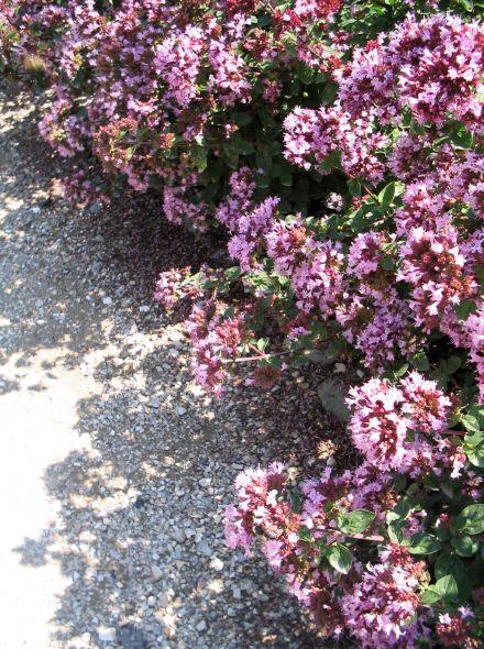 Origanum 'Rosenkuppel' (Marjolein, Siermarjolein)