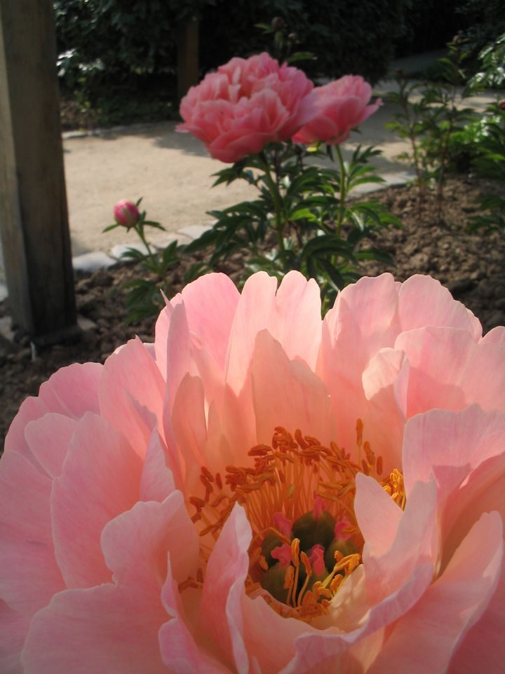 Paeonia 'Coral Sunset' - Pioenroos