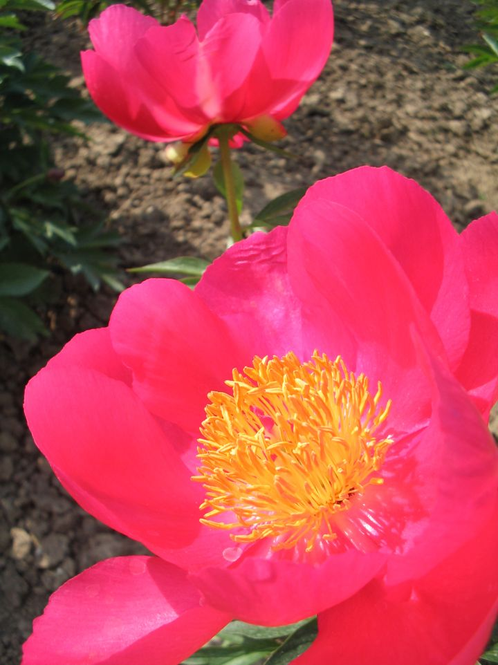 Paeonia 'Flame' - Pioenroos