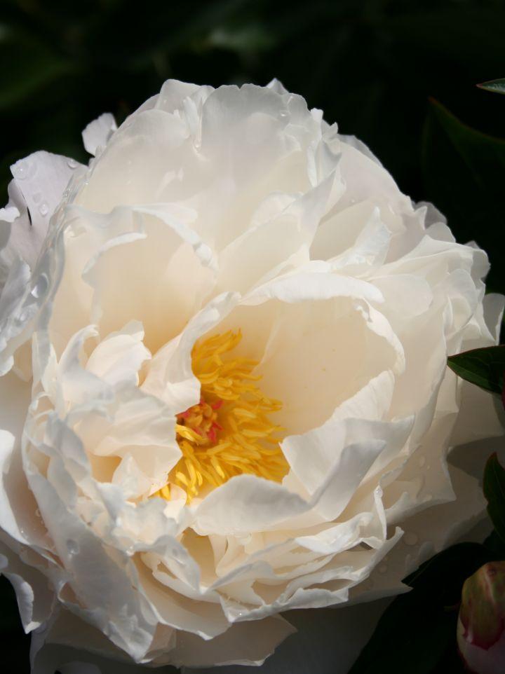 Paeonia 'Gardenia' - Pioenroos