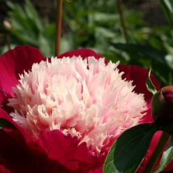 Paeonia lactiflora 'Whitecap' - Pioenroos