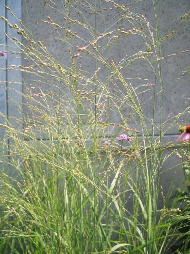 Panicum virgatum 'Rotstrahlbusch' - Vingergras