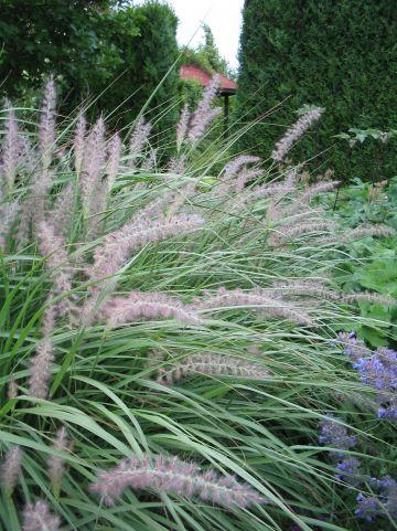 Pennisetum orientale - Lampenpoetsersgras