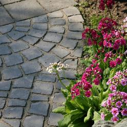 Primula japonica - Sleutelbloem
