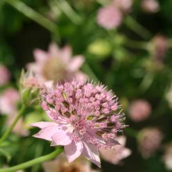Astrantia maxima - Zeeuws knoopje