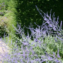 Perovskia atriplicifolia 'Blue Spire' - Reuzenlavendel