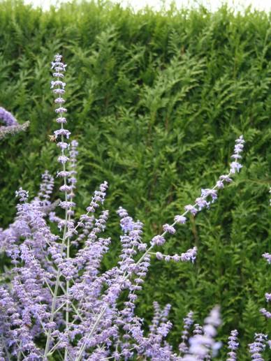 Perovskia atriplicifolia 'Little Spire' - Reuzenlavendel