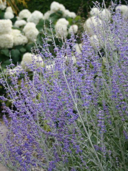 Perovskia atriplicifolia 'Little Spire' (Russische salie, Reuzenlavendel of blauwspiraea)