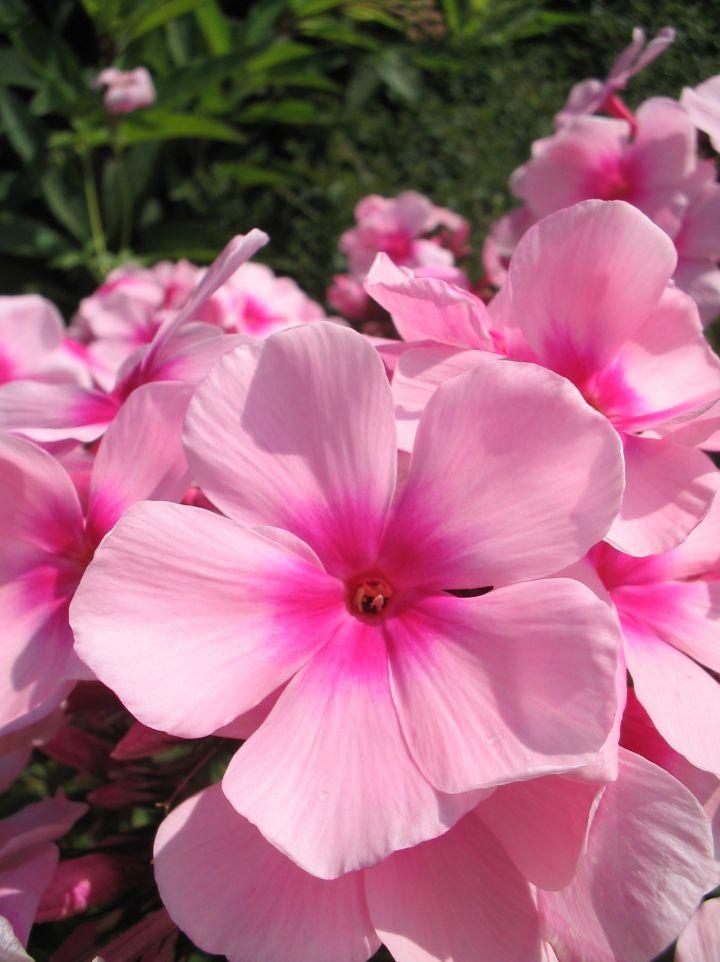 Phlox paniculata 'Bright Eyes' -  Floks, vlambloem
