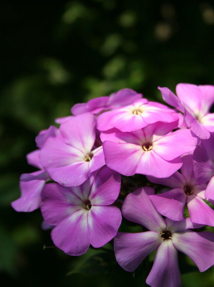 Phlox paniculata 'Little Princess' -  Floks, vlambloem