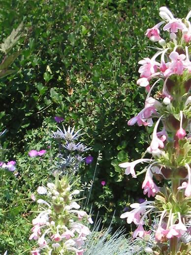 Morina longifolia - Kransbloem