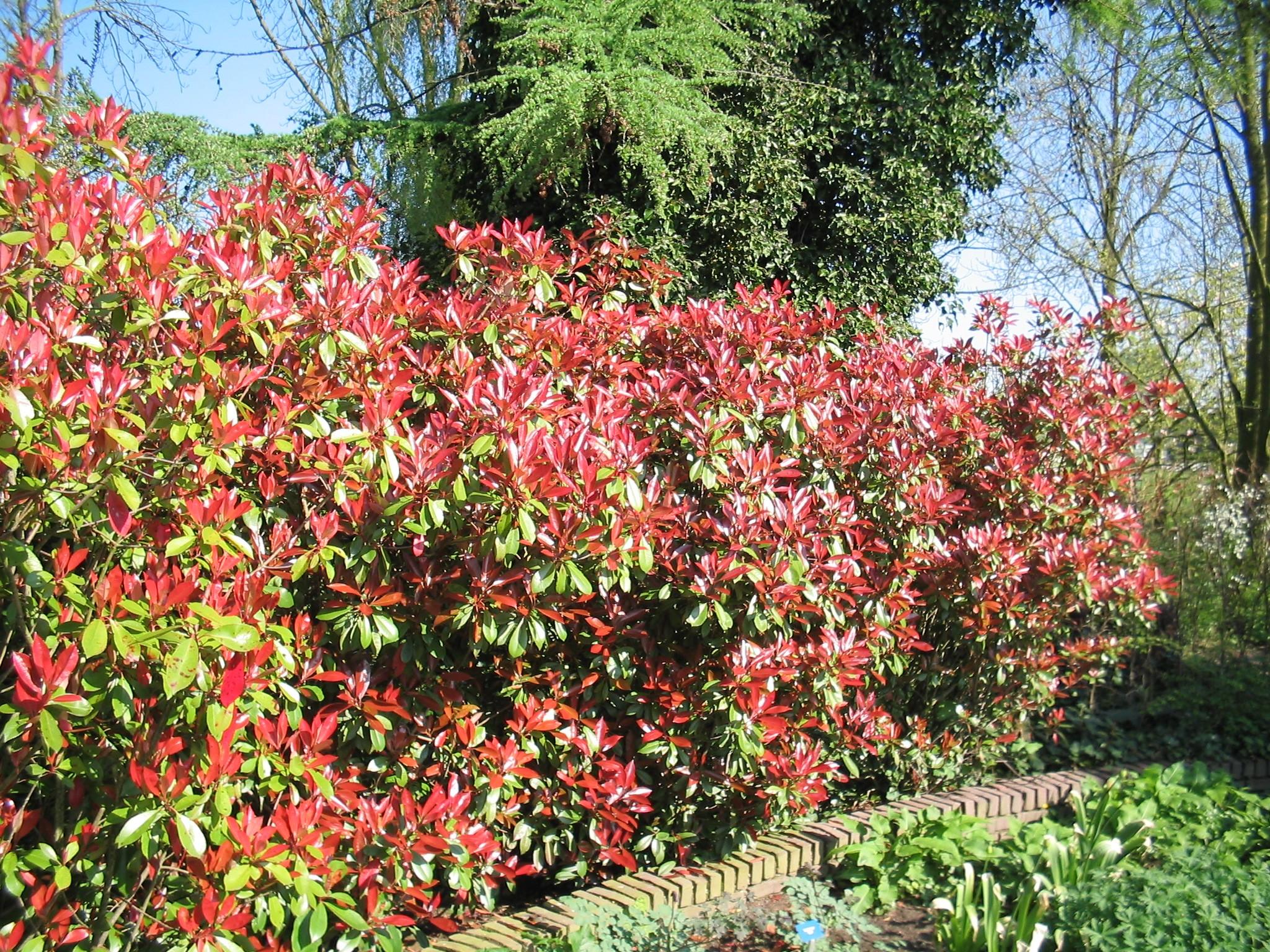 photinia fraseri 39 red robin 39 glansmispel de tuinen van appeltern. Black Bedroom Furniture Sets. Home Design Ideas