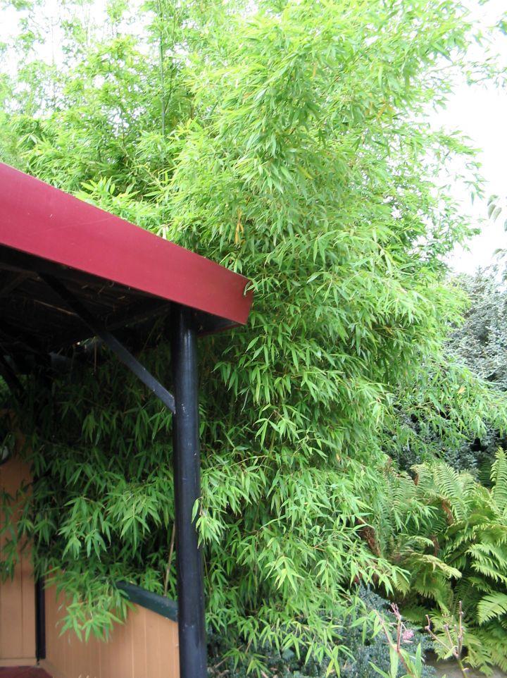 Phyllostachys arcana - Bamboe