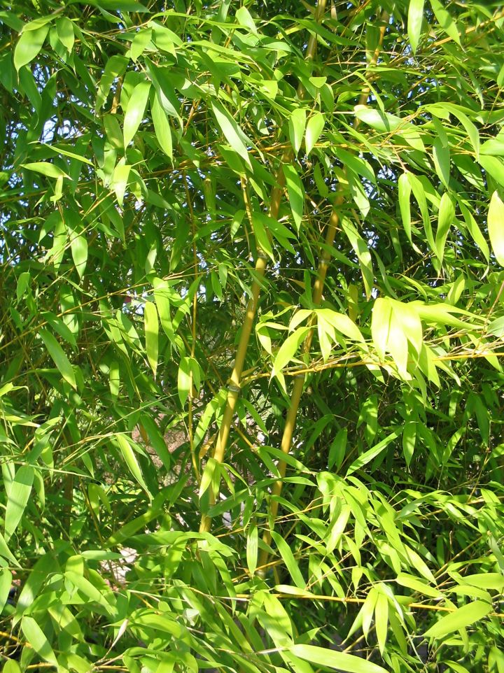 Phyllostachys aurea - Goudbamboe