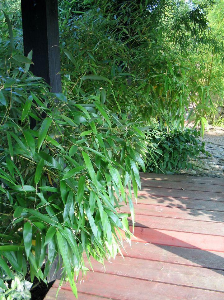 Phyllostachys bambusoides 'Violascens'