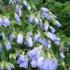 Polemonium pulcherrimum - Jakobsladder