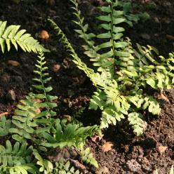 Polystichum acrostichoides - Naaldvaren