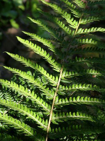 Polystichum setiferum 'Dahlem' - Zachte naaldvaren