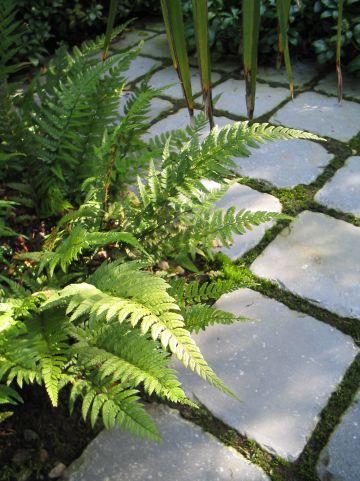 Polystichum tsussimense - Smalle naaldvaren