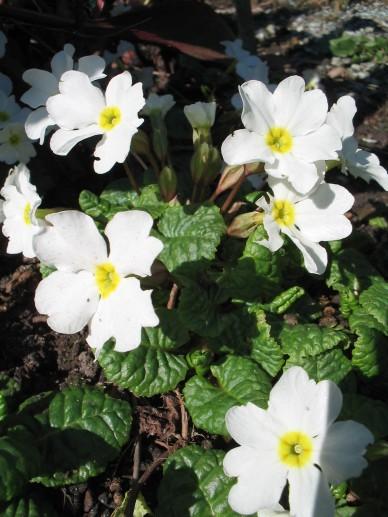 Primula 'Sneeuwwitje' - Sleutelbloem