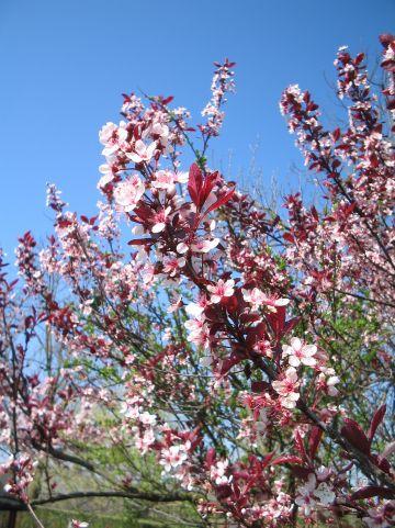 Prunus cistena - (Purperbladige) sierpruim