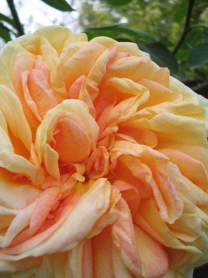 Rosa 'Alchymist' - Klimroos