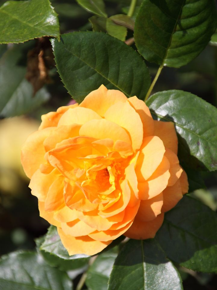Rosa 'Bernstein Rose' - Polyantharoos