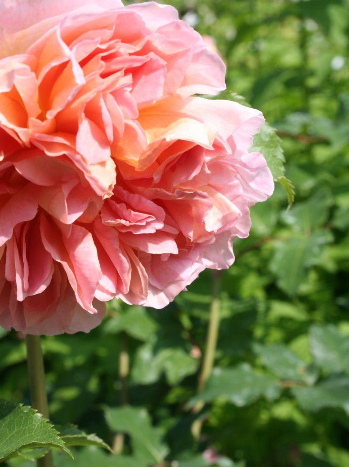 Rosa 'Claire Rose' - Bourbonroos