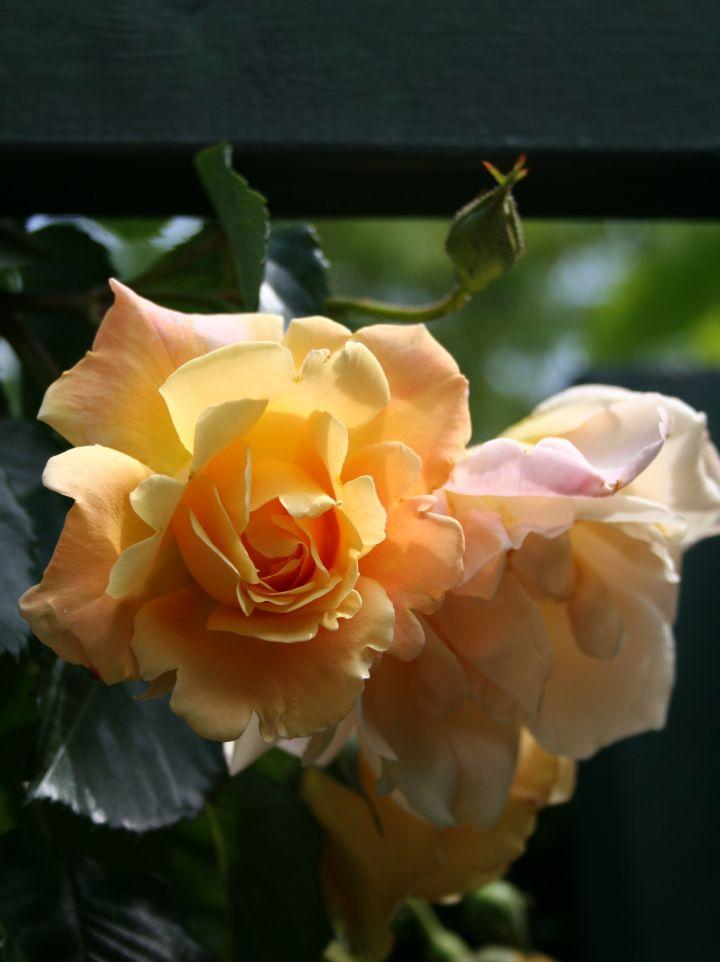 Rosa 'Climbing Ophelia' - Klimroos