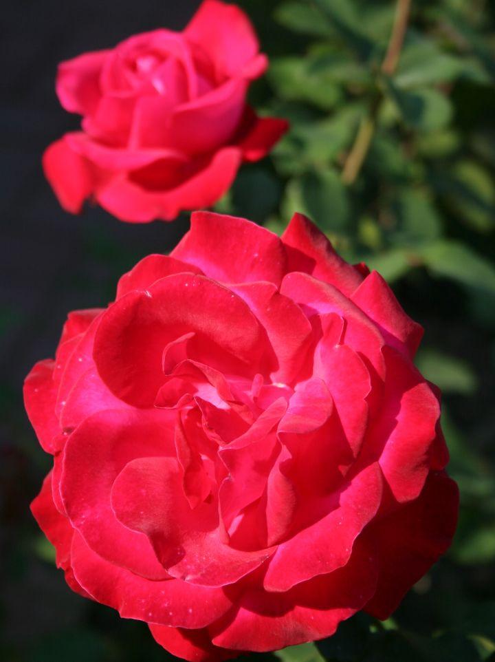 Rosa 'Colette' - Klimroos