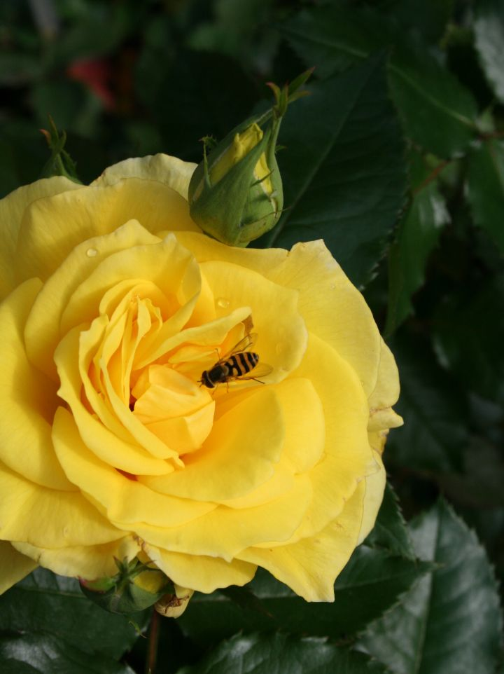 Rosa 'Friesia' - Floribundaroos