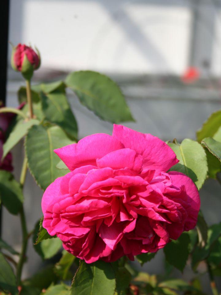 Rosa 'Mme. Isaac Pereire' - Bourbonroos
