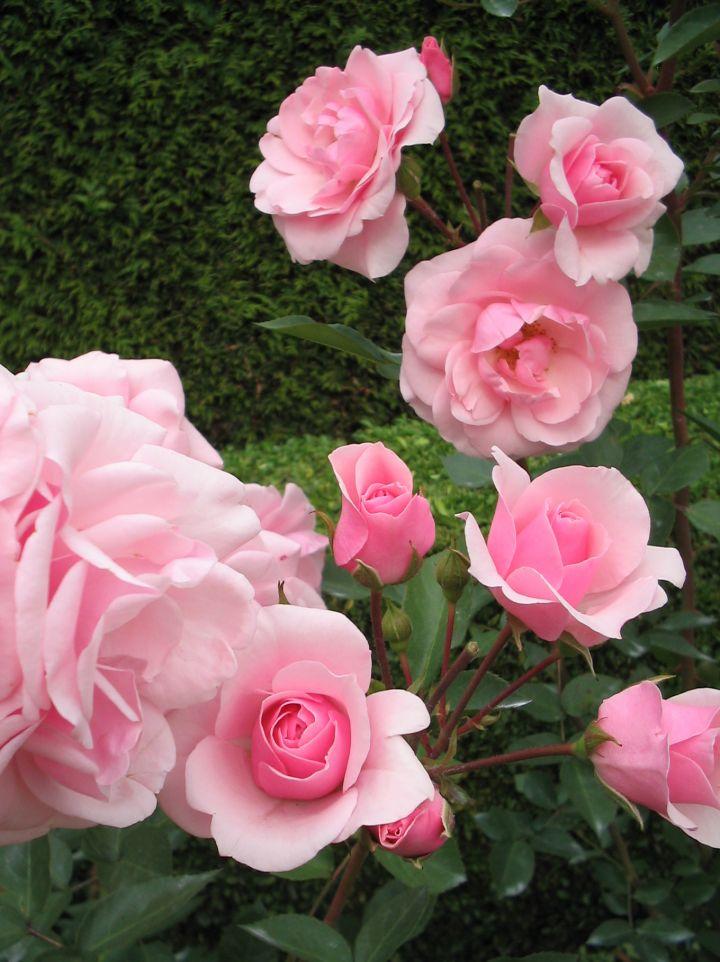 Rosa 'Sexy Rexy' - Floribundaroos