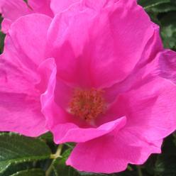Rosa rugosa - Japanse bottelroos