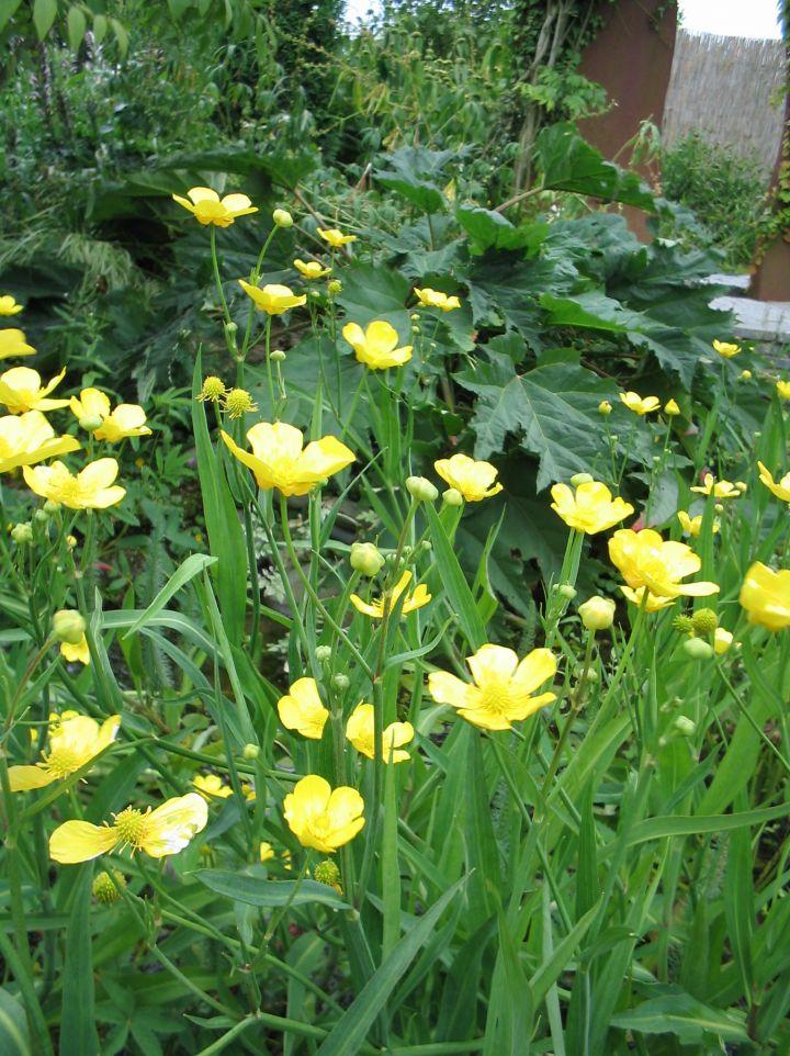 Ranunculus lingua - Grote boterbloem
