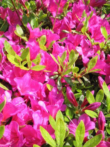 Rhododendron 'Sabina' - Rododendron