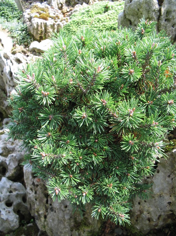Pinus mugo 'Minimops' - Pijnboom, dwergden