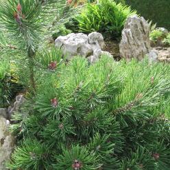 Pinus mugo 'Fructata' - Pijnboom, dwergden