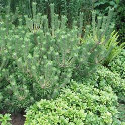 Pinus thunbergii - Pijnboom