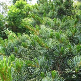 Pinus parviflora 'Glauca' (Japanse witte den)