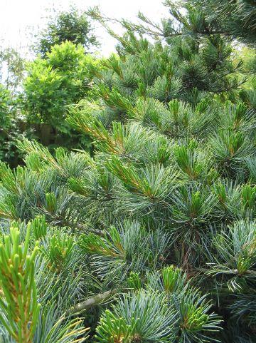 Pinus parviflora - Japanse witte den
