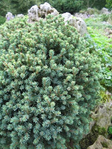 Picea glauca 'Blue Planet' - Dwergspar