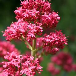 Centranthus ruber 'Coccineus' - Spoorbloem
