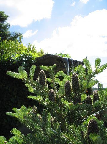 Abies pinsapo 'Glauca' - Spaanse den, Spaanse zilverspar