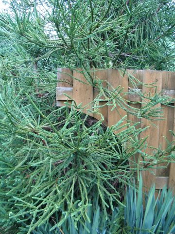 Cryptomeria japonica 'Rasen' - Japanse hanekam, Japanse cipres