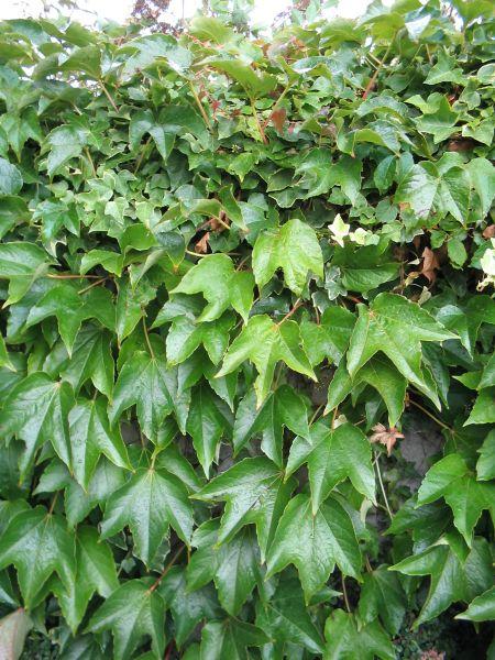 Parthenocissus tricuspidata 'Veitch Boskoop' (Wilde wingerd, Kasteel wingerd)